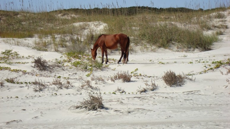 Horse in Dunes on Cumberland Island